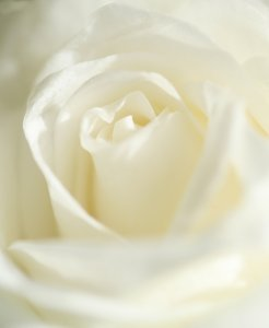 White rose: For the romantic people among us a single soft shot of a white rose.