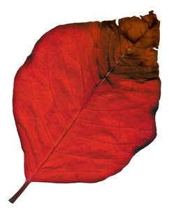 Poinsettia Leaf 1
