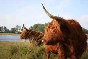 Scottish Highlander: Scottish Highlander