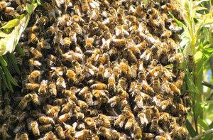 wild bee swarm