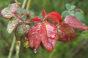 raindrops on leaves: raindrops on young and mature rose leaves