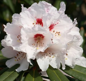 Rhododendron: Beatiful flower from cold Norway