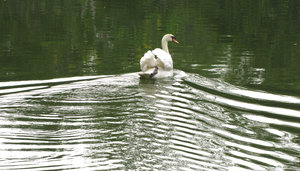 making ripples: white swan on lake causing water ripples, small waves