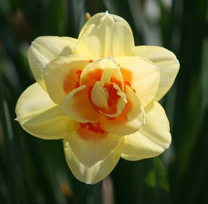 yellow daffodil: Spring is here!