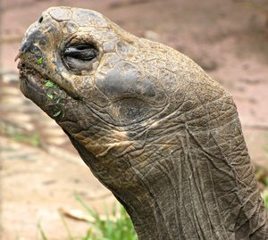 messy eater: Galapagos tortoise chewing leaves