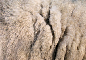 sheep wool texture