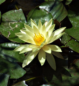 water flowers: creamy coloured water lillies and leaves