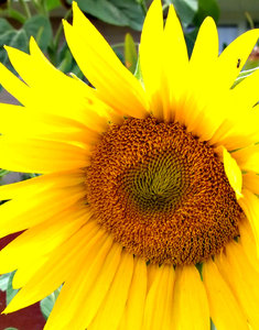 sunflower: sunflower shapes and textures
