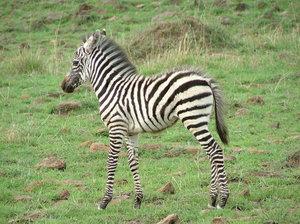 Baby Zebras In Africa Baby zebra Young zebra  Masai