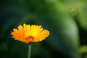 marigold: Flower of Calendula officinalis
