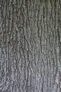 TEXTURE, MAPLE-DARK: MAPLE TREE TRUNK WITHOUT FLASH