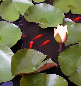 GOLDFISH AND LILIES