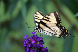 SWALLOWTAIL ON B-FLY BUSH: THE SWALLOWTAILS ARE SWARMING ON THE BUTTERFLY BUSHES