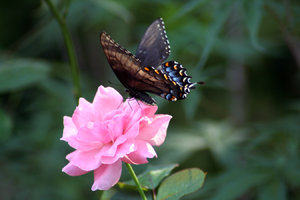 BLACK SWALLOWTAIL ON PINK ROSE: THE TWO WEEKS OF WAITING FINALLY PAID OFF.