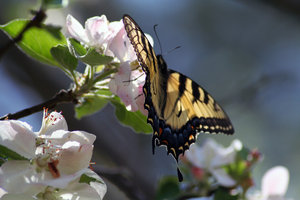 BUTTERFLY ON APPLE TREE