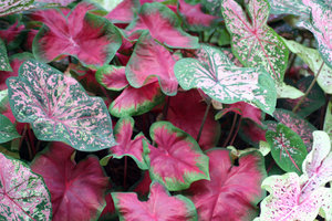 CALADIUMS 1: AN IMAGE OF A FEW OF THE CALADIUMS PLANTED THIS SEASON.