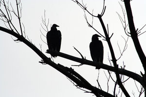 LOOK RIGHT: TWO BLACK VULTURES