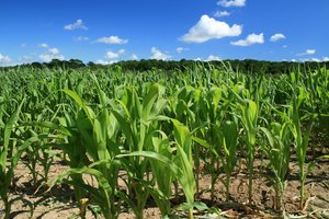Corn (maize) crop: A corn (Zea mays) crop growing in a field in West Sussex, England, in summer.