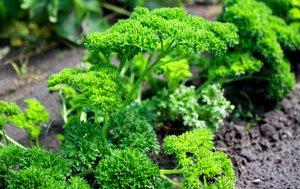 Parsley - vegetable garden