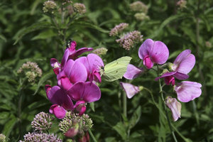 Sweet peas and insects