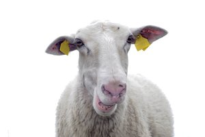 sheep: sheep portrait