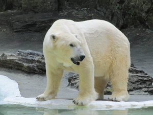 Polar bear.: Polar bear in the the Bronx Zoo, New York, USA.