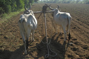 Oxen 3: A pair of oxen patiently awaiting their master to start sowing the field at Village Sevasi in Gujarat, India.