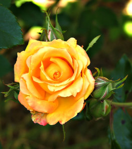 garden gold: golden yellow rose bloom and buds