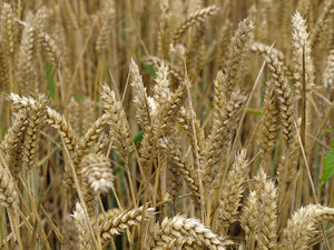 wheat: Field of wheat