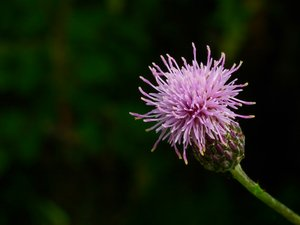 thistle: purple flower closeup