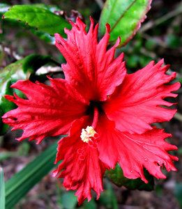frilly red brilliance