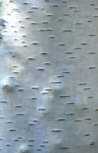 tree trunk texture: texture and bark of silver birch tree trunk