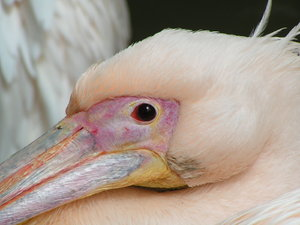 Pelican: Pelican in Zoo.