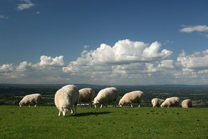 Sheep like the clouds: Sheep enjoying fresh green pasture on the top of the South Downs, West Sussex, England.