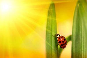 Ladybug climbing tulip leaf