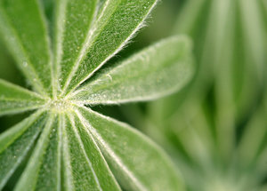 lupin leaves 2