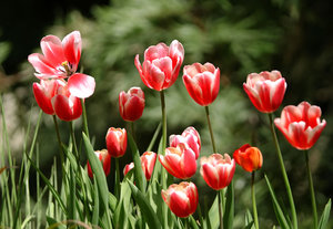 tulips: All of my non human subject photos are unrestricted so you do not need to contact me for permission. If you are planning on using a photo with people, please contact me in advance. Please mind that I will not allow them to be used for any religious purpos