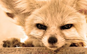 fennec fox: no description