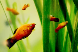 platy fish: no description