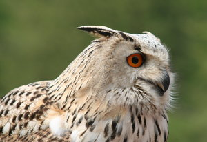 eagle owl: pose...