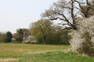 Field hedge in spring