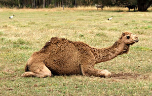 camel carpetting: the thick woolly moulting coat of a camel