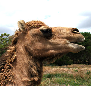 camel time: camel close-ups
