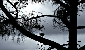 storm shadows: crows on tree branches silhouetted against darkening sky