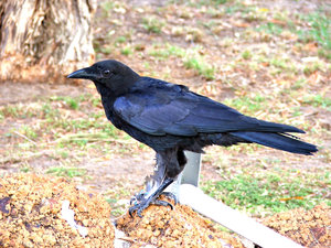 stone the crows: Australian raven also called a crow