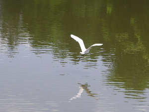 Crane flying over water