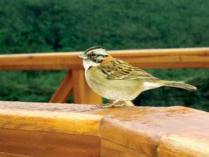 Tico-tico Bird