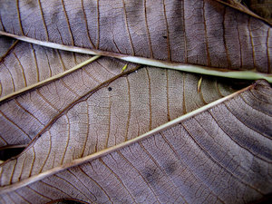 dry veins: the dried vein patterns on dried up dead leaves