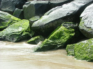Moss on the Rocks, Ocean City : Moss growing on large rocks on the beach in spring at Ocean City Maryland on a sunny day