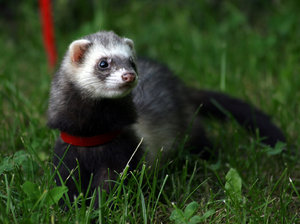 fret: ferret on the grass